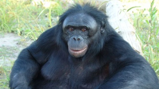 Kanzi - a star pupil at the Bonobo Trust Sanctuary