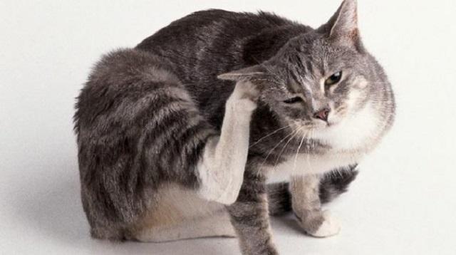 itch-cat