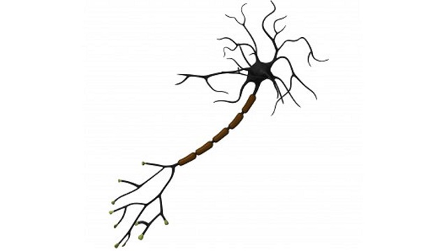 multiple-sclerosis-myelin-tolerance